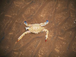 Crab crawling in sand on the beach. Halloween crab