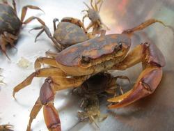 Crab crawling inside a vessel.