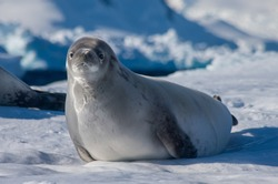 Crab eater seal with raised head