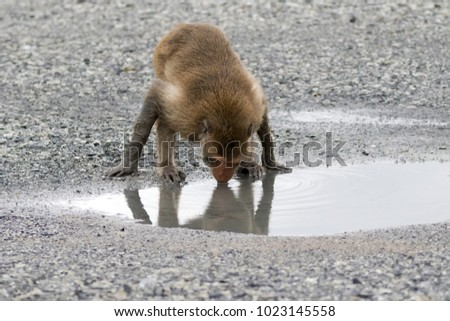 Crab-eating Macaque monkey drinking water on ground at mangrove in Thailand (Long-tailed Macaque)