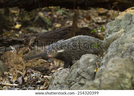 Crab-eating Mongoose in nature wild.