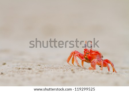 crab feeding on the beach a close up