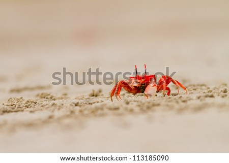crab feeding on the beach close up