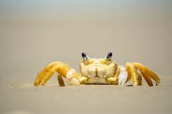 Crab feeding on the beach sand.