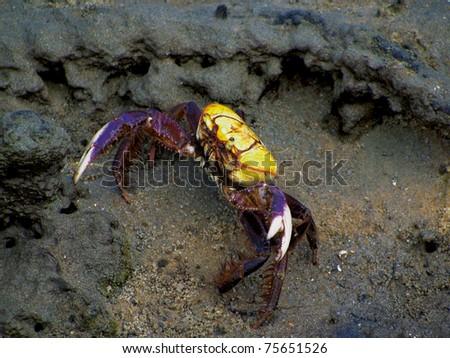 crab in the mud