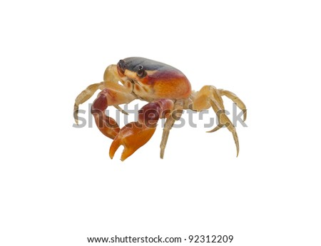 crab isolated against white background