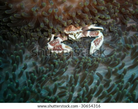 crab marblecrab softcoral coral dive Philippines Leyte underwater reef