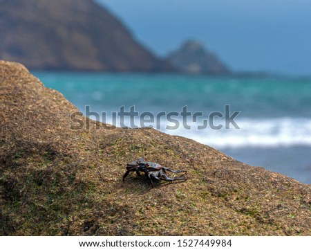 Crab on a beach rock with the ocean, sky and cliffs out of focus in the background. Los Frailes Beach National Park, Manabi, Ecuador.