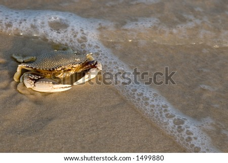 Crab on shore at sunset (gulf shores alabama)