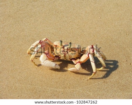 Crab on the beach on Bazaruto Island, Mozambique