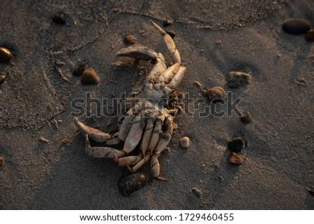 Crab Shell on the Beach at Sunrise Stock fotó ©