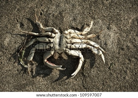 Crab Skeleton on the Beach Sand / Closeup - Top View. Nature Photography Collection.