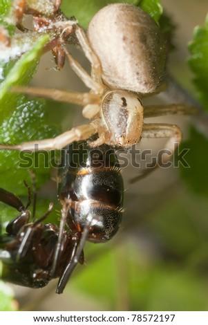 Crab spider feeding on caught carpenter ant