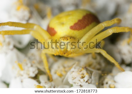 Crab spider, Misumena vatia on white flower
