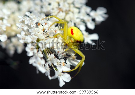 Crab spider sitting on a flower