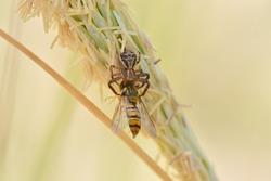 Crab spider ( Thomisidae ) catching huge prey. Flower spider or flower crab spider and its prey on beach grass flower.
