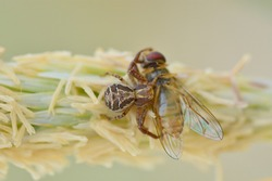 Crab spider ( Thomisidae ) catching huge prey. Flower spider or flower crab spider and its prey on marram grass flower.