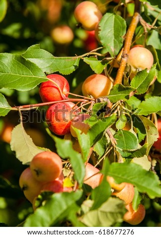 Crabapple and Wild apple. Malus  is a genus of about 30â??55 species of small deciduous apple trees or shrubs in the family Rosaceae Photo stock ©