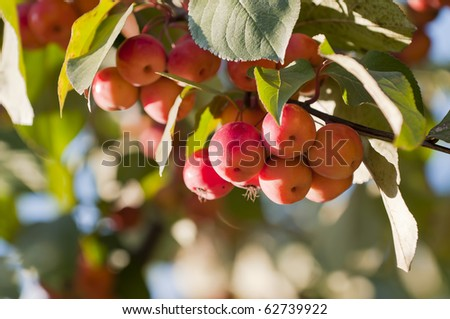 Crabapples in a tree. Shallow depth of field
