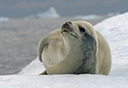 Crabeater Seal 10