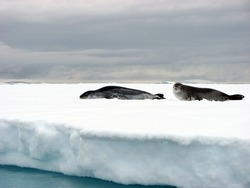 Crabeater Seal and Leopard Seal hanging out on an ice floe in Antarctica