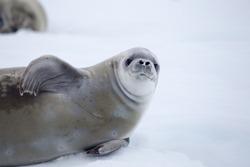 Crabeater seal, Antarctic Peninsula