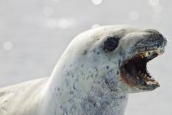 crabeater seal, antarctic peninsula, antarctica