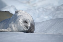 Crabeater Seal enjoying the sun on some ice in Antarctica