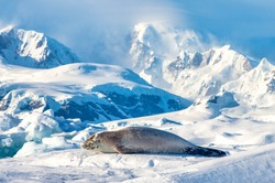 Crabeater  seal hauled out on the ice in Antarctica