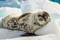 Crabeater seal in Antarctica