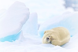 Crabeater Seal Lied On The Iceberg In Antarctica Peninsula