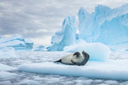 Crabeater seal (lobodon carcinophaga) resting on drifting pack ice or icefloe between blue icebergs and freezing sea water landscape in the Antarctic Peninsula, Antarctica