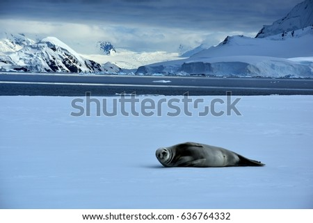 Crabeater seal lounging in Antarctica on ice floes in Wilhemina Bay