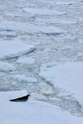 Crabeater seal on ice floe in antarctic ocean, Antarctica