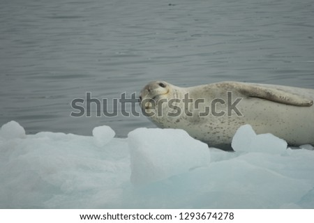 Crabeater seal posing for the camera