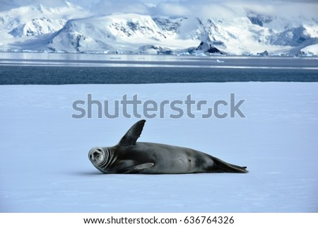 Crabeater seal waving in Antarctica on ice floes in Wilhemina Bay