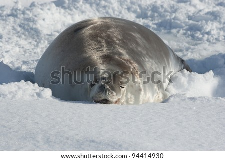 Crabeater seals lying in the snow on a sunny day.