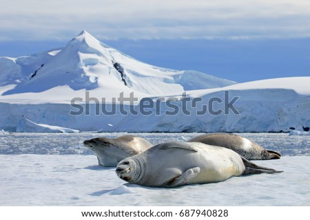 Crabeater seals on ice floe, Antarctic Peninsula, Antarctica