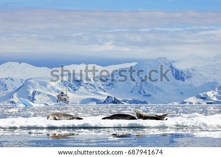 Crabeater seals on ice floe, Antarctic Peninsula, Antarctica #687941674