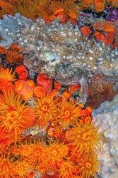 Crabs are decapod crustaceans of the infraorder Brachyura underwater at night on column at town pier, Bonaire