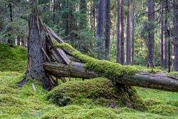 Cracked and fallen fir tree in the middle of a forest with green moss growing on the trunk