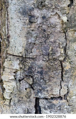 cracked and old guaba tree trunk Stock photo ©