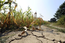 Cracked earth in hot summer drought at corn field