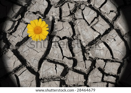 cracked soil with single daisy