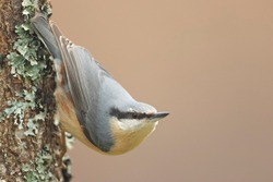 Cramenes, Leon/Spain; Feb. 15, 2020. The Eurasian nuthatch or wood nuthatch (Sitta europaea) is a small passerine bird found throughout the Palearctic and in Europe.