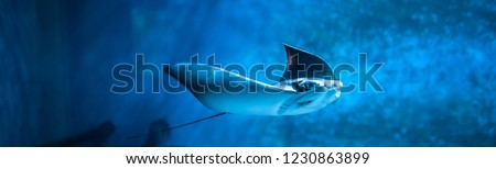 Cramp-fish in blue water. Stingray swimming underwater