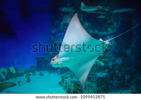 Cramp-fish in blue water. Stingray swimming underwater. Stingray is a flat marine fish. Rays (skates) deep-water fish. Side view.
