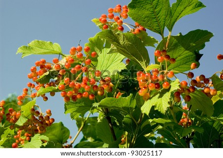 Cranberry bush berry cluster over leaves background