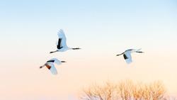 crane bird flying in the morning in Kushiro. Hokkaido japan.