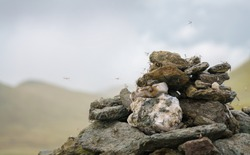 Crane fly on a pile of stones, the summit marker cairn of Meall nan Tarmachan near Loch Tay in the Scottish Highlands, UK.